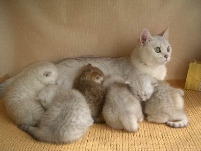 Уход за беременной и кормящей кошкой Британские кошки.