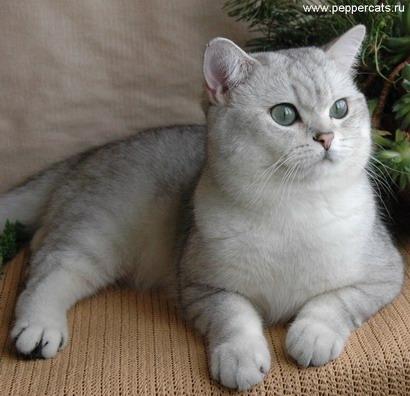 Британский короткошерстный голубой кот Gr.  Int.  Ch.