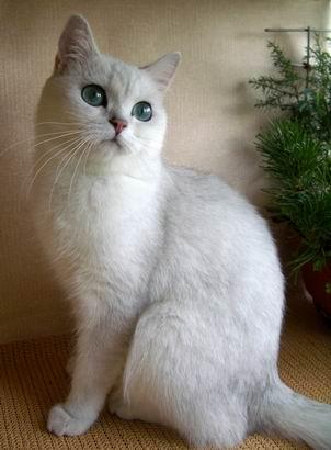 Британские кошки шиншиллы - котята, вязки, фото.
